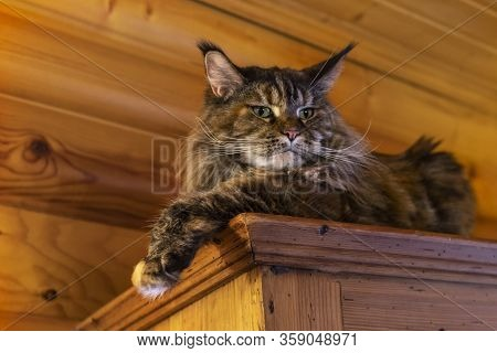 Portrait Whiskered Maine Coon Cat. Fluffy Big Cat With Long Tassels On The Ears Is Lying On The Ward