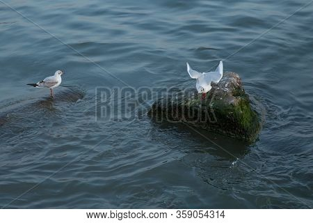 Sea Gull Looking Out To Sea . Seagull On Rock Near The Sea In Nature . The Seagull Is Standing On A