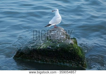 Seagull On Rock Near The Sea In Nature . The Seagull Is Standing On A Rocky Mound . Seagull On The P