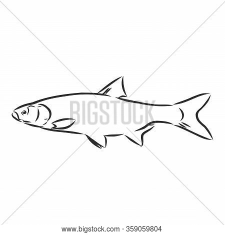 Hand Drawn Sketch Seafood Vector Black And White Vintage Illustration Of Salmon Fish. Isolated Objec