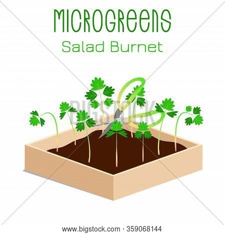 Microgreens Salad Burnet, Sanguisorba Minor. Sprouts In A Bowl. Sprouting Seeds Of A Plant