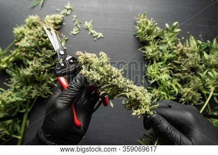 Growers Trim Their Pot Buds Before Drying. Mans Hands Trimming Marijuana Bud. Trim Before Drying. Th