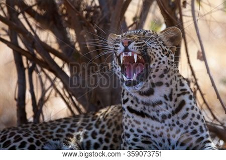 The Leopard (panthera Pardus), Portrait At Sunset. Leopard In A Yellow Dry Bush In A South African S