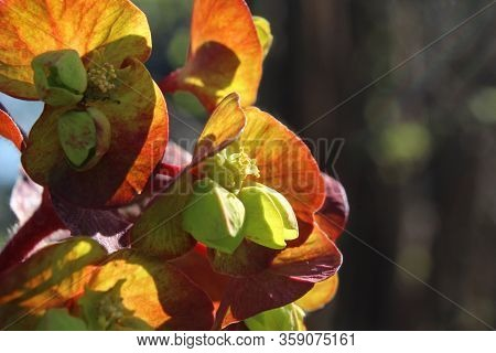 The Unusual Green Flowers Of Euphorbia Amygdaloides Purpurea, Also Known As Purple Wood Spurge, Back