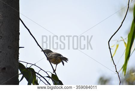 Jungle Babbler ,a Common Bird Found In West Bengal