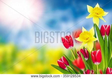 Spring Flowers Tulips And Daffodils. Spring Landscape.