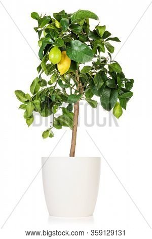 Potted lemon tree with several fruits isolated on white background