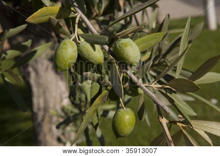Green Olives in a Tree Branch full of Fruits