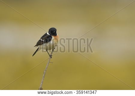 Common Stonechat A Bird Stand On Branches With A Beautiful Background