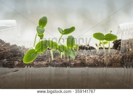Recycled Plastic Bottle With Seedlings Closeup, Ecology, Cultivation, Home Agriculture, Horticulture