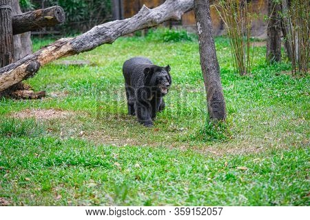 Beautiful Brown Bear In A Park On The Island Of Phu Quoc