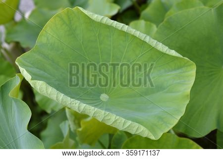 Sacred Lotus Leaves - Latin Name - Nelumbo Nucifera