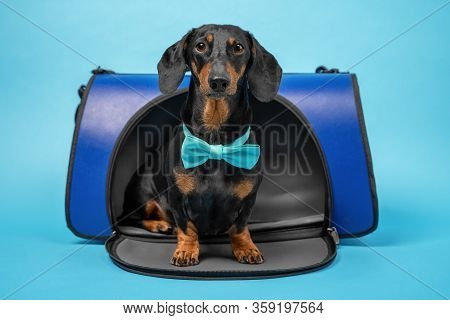 Smart Dachshund With Turquoise Bow Tie Obediently Sits In Pet Carrier On Blue Background, Studio Sho