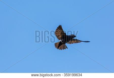 Flying Purple Martin Progne Subis Bird In Sarasota, Florida.