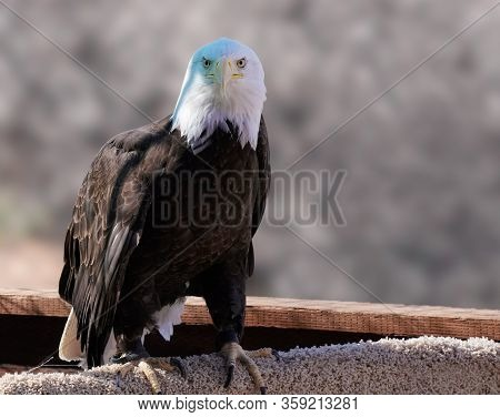 A Male Bald Eagle Sitting On A Perch Looks Directly At The Camera.