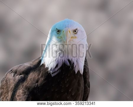 Close Up Of A Male Bald Eagle Looking Directly At The Camera.