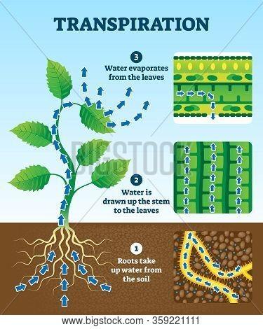 Transpiration Vector Illustration. Labeled Educational Plant Water Circulation Scheme. Explanation D