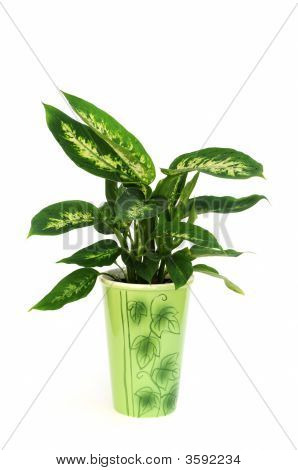 Dieffenbachia Plant In Pot Isolated On White Background