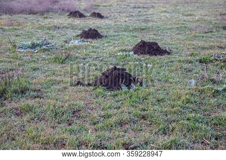 A Row Of Mole Hills Has Damaged The Lawn. Molehills. Damaged Lawn It Is Result Of European Mole Acti