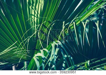 Palm Leaf Nature Background. Nature Background Of Palm Leaves. Palm Tree Leaves Nature Background. N