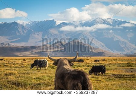 Wild Yak On Pasture In The Pamir Mountains
