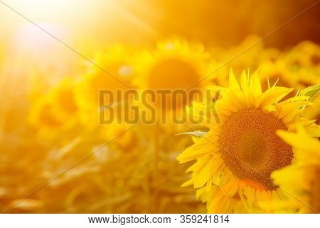 Field Of Sunflower Its Look Beautiful In The Twilight
