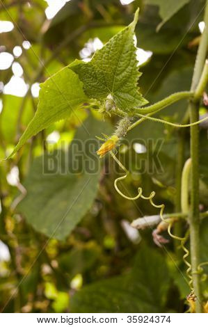 Young Cucumber Plant