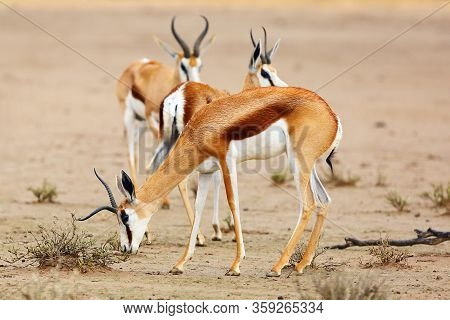 The Springbok (antidorcas Marsupialis) An Herd Of Antelope. Antelopes Withatypical Horn On The Sand.