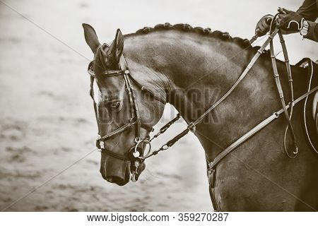 Monochrome Image Of A Racehorse With A Bridle On Its Muzzle, Which Is Held By The Reins By A Rider I