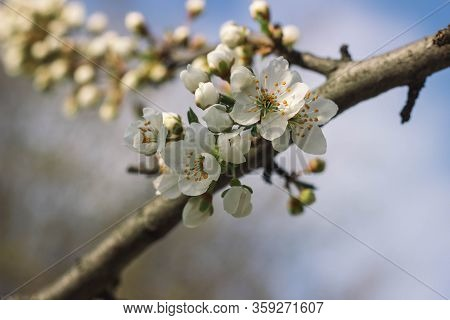 Wight Cherry Tree Blossom In Warm Spring