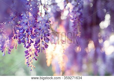 Spring Flowers Wisteria Blooming In Sunset Garden. Beautiful Flowering Trellis Blossom In Chinese An