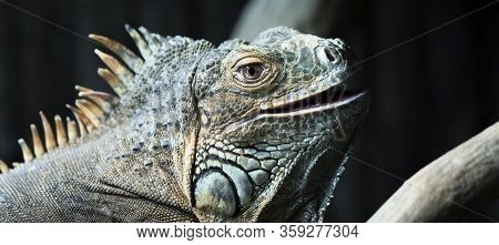 Portrait Of Iguana In A Zoo, France