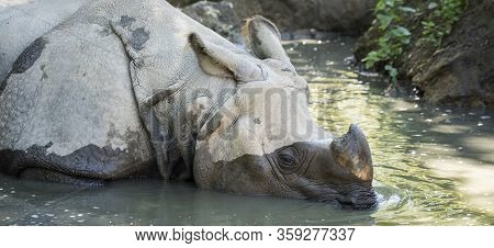Rhinoceros In Water On Summer, France, Europe