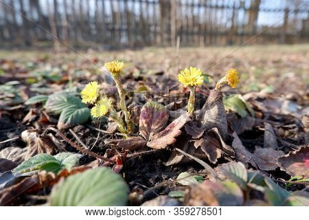 Fresh Yellow Foalfoot Flowers Between Strawberry Leaves Close Up View And Fence In The Background, S