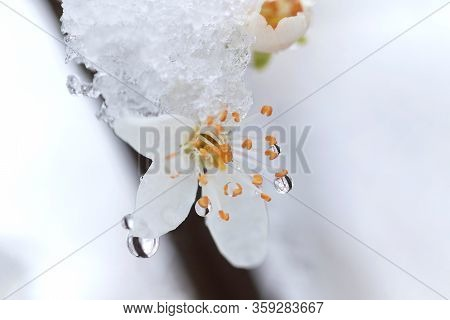 A Close Up Of A Blackthorn, Sloe Or Prunus Spinosa Flower Covered With Water, Snow And Ice During Sp