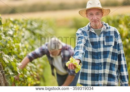 Winegrowers harvesting grapes shows a vine with white grapes