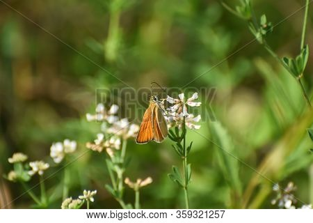 Small Skipper Butterfly  On Flower. Little Orange Butterfly On Meadow