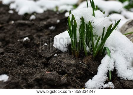 Green Foliage Under The Snow. Sudden Snow. Blizzard. Late Autumn Or Early Spring.