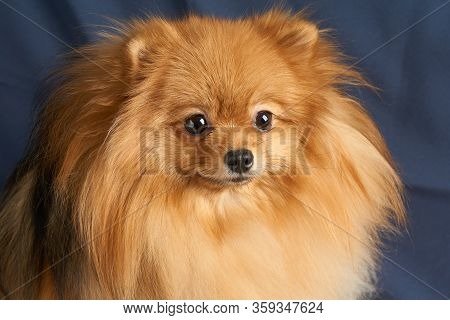 Close-up Portrait Of One Red Pomeranian Dog