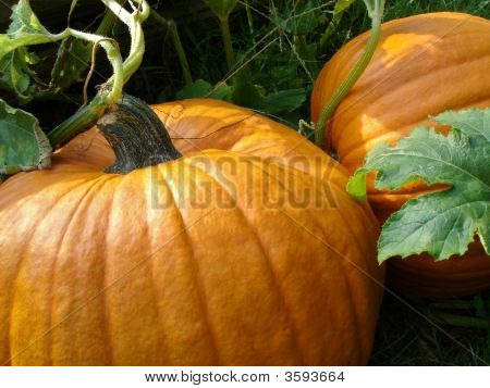 Pumpkin In Patch