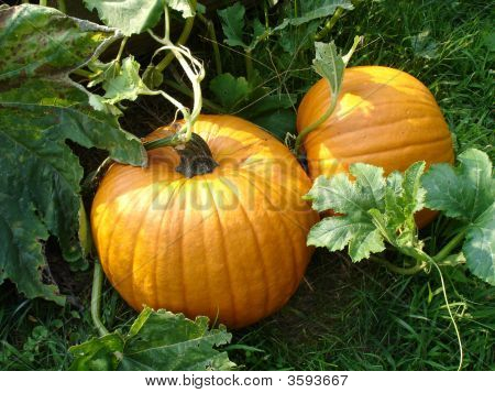 Pumpkins In Pumpkin Patch