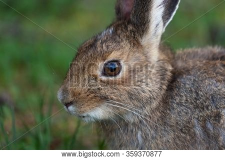 A Cute And Fuzzy Little Bunny Rabbit Resting And Eating Grass While Staying Cautious Of Its Surround
