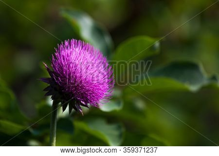 A Wild Purple Thistle Bloom In The Morning Sunshine With A Soft Blurred Green Background In Grand Te