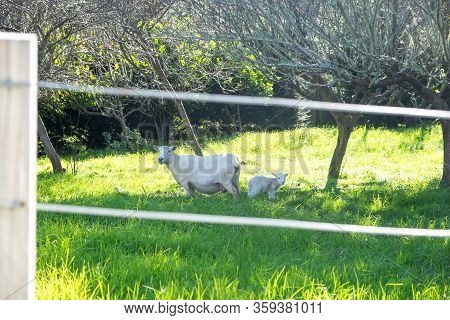 Sheep - Ewe And Lamb In Spring In Field Behind Fence In New Zealand, Nz
