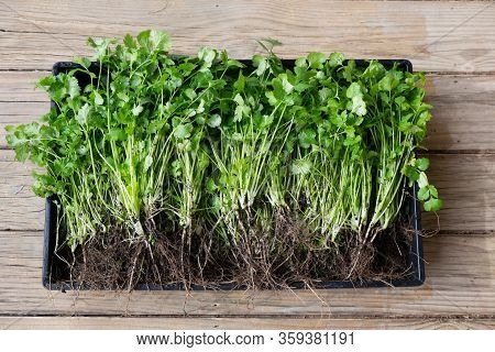 Cilantro Or Coriander Herb Freshly Harvested With Muddy Roots And Green Leaves And Timber Background