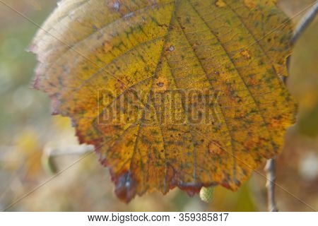 Full Frame Image Of Green Hazelnut Leaf Background . In Autumn .