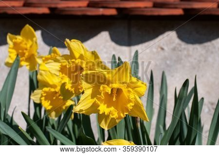 A Group Of Yellow Flowering Narcissus Plants With Trumpet Shaped Blossoms In Sunlight