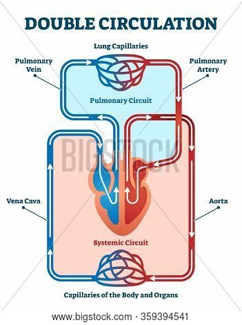 Double Circulation Vector Illustration. Labeled Educational Blood Route Scheme. Lung Capillaries, Pu
