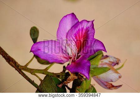 Bauhinia Variegata, Flowering Plant In The Legume Family Fabaceae
