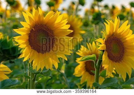 Beautiful Sunflowers Field At Summer Time Waiting For Harvest